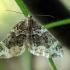 Danteninė cidarija - Ecliptopera silaceata | Fotografijos autorius : Ramunė Vakarė | © Macrogamta.lt | Šis tinklapis priklauso bendruomenei kuri domisi makro fotografija ir fotografuoja gyvąjį makro pasaulį.