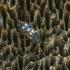 Daugiataškis grybvabalis - Mycetophagus multipunctatus   Fotografijos autorius : Kazimieras Martinaitis   © Macrogamta.lt   Šis tinklapis priklauso bendruomenei kuri domisi makro fotografija ir fotografuoja gyvąjį makro pasaulį.
