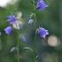 Didžiažiedis katilėlis – Campanula persicifolia   Fotografijos autorius : Agnė Našlėnienė   © Macrogamta.lt   Šis tinklapis priklauso bendruomenei kuri domisi makro fotografija ir fotografuoja gyvąjį makro pasaulį.
