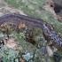 Didysis šliužas - Limax maximus | Fotografijos autorius : Romas Ferenca | © Macrogamta.lt | Šis tinklapis priklauso bendruomenei kuri domisi makro fotografija ir fotografuoja gyvąjį makro pasaulį.