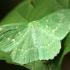 Didysis žaliasprindis - Geometra papilionaria | Fotografijos autorius : Ramunė Vakarė | © Macrogamta.lt | Šis tinklapis priklauso bendruomenei kuri domisi makro fotografija ir fotografuoja gyvąjį makro pasaulį.
