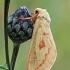 Didysis apyninis šakniagraužis - Hepialus humuli ♀ | Fotografijos autorius : Gintautas Steiblys | © Macrogamta.lt | Šis tinklapis priklauso bendruomenei kuri domisi makro fotografija ir fotografuoja gyvąjį makro pasaulį.