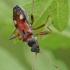 Dirvablakė - Beosus quadripunctatus | Fotografijos autorius : Gintautas Steiblys | © Macrogamta.lt | Šis tinklapis priklauso bendruomenei kuri domisi makro fotografija ir fotografuoja gyvąjį makro pasaulį.