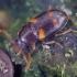 Dvijuostis juodvabalis - Alphitophagus bifasciatus | Fotografijos autorius : Romas Ferenca | © Macrogamta.lt | Šis tinklapis priklauso bendruomenei kuri domisi makro fotografija ir fotografuoja gyvąjį makro pasaulį.