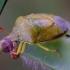 Dvispalvė skydblakė - Piezodorus lituratus | Fotografijos autorius : Romas Ferenca | © Macrogamta.lt | Šis tinklapis priklauso bendruomenei kuri domisi makro fotografija ir fotografuoja gyvąjį makro pasaulį.
