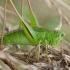 Dvispalvis spragtukas - Metrioptera bicolor ♀   Fotografijos autorius : Žilvinas Pūtys   © Macrogamta.lt   Šis tinklapis priklauso bendruomenei kuri domisi makro fotografija ir fotografuoja gyvąjį makro pasaulį.