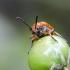 Dvylikadėmis smidrinukas - Crioceris duodecimpunctata | Fotografijos autorius : Kazimieras Martinaitis | © Macrogamta.lt | Šis tinklapis priklauso bendruomenei kuri domisi makro fotografija ir fotografuoja gyvąjį makro pasaulį.