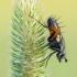 Dygliamusė - Eriothrix rufomaculata | Fotografijos autorius : Tomas Ivašauskas | © Macrogamta.lt | Šis tinklapis priklauso bendruomenei kuri domisi makro fotografija ir fotografuoja gyvąjį makro pasaulį.