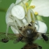 Geltonasis žiedvoris - Misumena vatia   Fotografijos autorius : Vidas Brazauskas   © Macrogamta.lt   Šis tinklapis priklauso bendruomenei kuri domisi makro fotografija ir fotografuoja gyvąjį makro pasaulį.