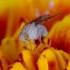 Girinukė - Eusapromyza multipunctata | Fotografijos autorius : Romas Ferenca | © Macrogamta.lt | Šis tinklapis priklauso bendruomenei kuri domisi makro fotografija ir fotografuoja gyvąjį makro pasaulį.