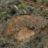 Gelsvasis šakniagrybis - Rhizopogon luteolus | Fotografijos autorius : Gintautas Steiblys | © Macrogamta.lt | Šis tinklapis priklauso bendruomenei kuri domisi makro fotografija ir fotografuoja gyvąjį makro pasaulį.