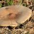 Pavasarinis minkštūnis - Melanoleuca cognata | Fotografijos autorius : Ramunė Vakarė | © Macrogamta.lt | Šis tinklapis priklauso bendruomenei kuri domisi makro fotografija ir fotografuoja gyvąjį makro pasaulį.