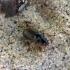 Vikriažygis - Harpalus griseus | Fotografijos autorius : Vitalii Alekseev | © Macrogamta.lt | Šis tinklapis priklauso bendruomenei kuri domisi makro fotografija ir fotografuoja gyvąjį makro pasaulį.