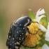 Auksavabalis - Oxythyrea cinctella | Fotografijos autorius : Gintautas Steiblys | © Macrogamta.lt | Šis tinklapis priklauso bendruomenei kuri domisi makro fotografija ir fotografuoja gyvąjį makro pasaulį.
