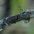 Juodasis laukaspragšis – Hemicrepidius niger | Fotografijos autorius : Giedrius Markevičius | © Macrogamta.lt | Šis tinklapis priklauso bendruomenei kuri domisi makro fotografija ir fotografuoja gyvąjį makro pasaulį.