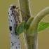 Juodataškė šermuonėlinė kandis - Yponomeuta plumbella | Fotografijos autorius : Arūnas Eismantas | © Macrogamta.lt | Šis tinklapis priklauso bendruomenei kuri domisi makro fotografija ir fotografuoja gyvąjį makro pasaulį.