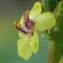 Juodoji tūbė - Verbascum nigrum | Fotografijos autorius : Gintautas Steiblys | © Macrogamta.lt | Šis tinklapis priklauso bendruomenei kuri domisi makro fotografija ir fotografuoja gyvąjį makro pasaulį.