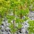 Daržinė karpažolė - Euphorbia peplus | Fotografijos autorius : Gintautas Steiblys | © Macrogamta.lt | Šis tinklapis priklauso bendruomenei kuri domisi makro fotografija ir fotografuoja gyvąjį makro pasaulį.