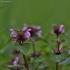 Karpytalapė notrelė - Lamium hybridum   Fotografijos autorius : Kęstutis Obelevičius   © Macrogamta.lt   Šis tinklapis priklauso bendruomenei kuri domisi makro fotografija ir fotografuoja gyvąjį makro pasaulį.