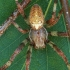 Keturdėmis kryžiuotis - Araneus quadratus ♂ ?? | Fotografijos autorius : Gintautas Steiblys | © Macrogamta.lt | Šis tinklapis priklauso bendruomenei kuri domisi makro fotografija ir fotografuoja gyvąjį makro pasaulį.