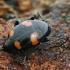 Keturdėmis valtvabalis - Scaphidium quadrimaculatum  | Fotografijos autorius : Gintautas Steiblys | © Macrogamta.lt | Šis tinklapis priklauso bendruomenei kuri domisi makro fotografija ir fotografuoja gyvąjį makro pasaulį.