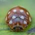 Keturiolikadėmė boružė - Calvia quatuordecimguttata | Fotografijos autorius : Žilvinas Pūtys | © Macrogamta.lt | Šis tinklapis priklauso bendruomenei kuri domisi makro fotografija ir fotografuoja gyvąjį makro pasaulį.