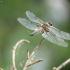 Keturtaškė skėtė - Libellula quadrimaculata    Fotografijos autorius : Vidas Brazauskas   © Macrogamta.lt   Šis tinklapis priklauso bendruomenei kuri domisi makro fotografija ir fotografuoja gyvąjį makro pasaulį.