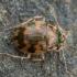 Kiaušiniškasis irklažygis - Omophron limbatum | Fotografijos autorius : Žilvinas Pūtys | © Macrogamta.lt | Šis tinklapis priklauso bendruomenei kuri domisi makro fotografija ir fotografuoja gyvąjį makro pasaulį.