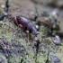 Kiaušiniškasis pjovėjas - Otiorhynchus ovatus? | Fotografijos autorius : Kazimieras Martinaitis | © Macrogamta.lt | Šis tinklapis priklauso bendruomenei kuri domisi makro fotografija ir fotografuoja gyvąjį makro pasaulį.