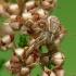 Guobinis krabvoris - Xysticus ulmi | Fotografijos autorius : Vidas Brazauskas | © Macrogamta.lt | Šis tinklapis priklauso bendruomenei kuri domisi makro fotografija ir fotografuoja gyvąjį makro pasaulį.