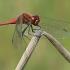 Kruvinoji skėtė - Sympetrum sanguineum ♂ | Fotografijos autorius : Gintautas Steiblys | © Macrogamta.lt | Šis tinklapis priklauso bendruomenei kuri domisi makro fotografija ir fotografuoja gyvąjį makro pasaulį.
