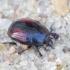 Krypūnėlis - Margarinotus purpurascens | Fotografijos autorius : Romas Ferenca | © Macrogamta.lt | Šis tinklapis priklauso bendruomenei kuri domisi makro fotografija ir fotografuoja gyvąjį makro pasaulį.