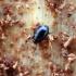 Krypūnėlis - Plegaderus vulneratus (Panzer, 1797) | Fotografijos autorius : Vitalii Alekseev | © Macrogamta.lt | Šis tinklapis priklauso bendruomenei kuri domisi makro fotografija ir fotografuoja gyvąjį makro pasaulį.