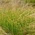 Kupstinė kūlingė - Trichophorum cespitosum | Fotografijos autorius : Nomeda Vėlavičienė | © Macrogamta.lt | Šis tinklapis priklauso bendruomenei kuri domisi makro fotografija ir fotografuoja gyvąjį makro pasaulį.