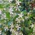 Kvapusis šiurkščius - Trachelospermum jasminoides | Fotografijos autorius : Gintautas Steiblys | © Macrogamta.lt | Šis tinklapis priklauso bendruomenei kuri domisi makro fotografija ir fotografuoja gyvąjį makro pasaulį.