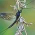 Lašalas - Siphlonurus sp. | Fotografijos autorius : Gintautas Steiblys | © Macrogamta.lt | Šis tinklapis priklauso bendruomenei kuri domisi makro fotografija ir fotografuoja gyvąjį makro pasaulį.
