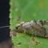 Lapasparnis - Wesmaelius nervosus ♀ | Fotografijos autorius : Žilvinas Pūtys | © Macrogamta.lt | Šis tinklapis priklauso bendruomenei kuri domisi makro fotografija ir fotografuoja gyvąjį makro pasaulį.