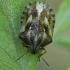 Lenktagalvė vėžliablakė - Eurygaster testudinaria | Fotografijos autorius : Gintautas Steiblys | © Macrogamta.lt | Šis tinklapis priklauso bendruomenei kuri domisi makro fotografija ir fotografuoja gyvąjį makro pasaulį.