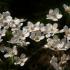 Lieknoji plukė - Anemonoides sylvestris | Fotografijos autorius : Kęstutis Obelevičius | © Macrogamta.lt | Šis tinklapis priklauso bendruomenei kuri domisi makro fotografija ir fotografuoja gyvąjį makro pasaulį.