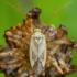 Liucerninė žolblakė - Adelphocoris lineolatus | Fotografijos autorius : Žilvinas Pūtys | © Macrogamta.lt | Šis tinklapis priklauso bendruomenei kuri domisi makro fotografija ir fotografuoja gyvąjį makro pasaulį.
