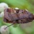 Mėlyninis dirvinukas - Diarsia brunnea | Fotografijos autorius : Žilvinas Pūtys | © Macrogamta.lt | Šis tinklapis priklauso bendruomenei kuri domisi makro fotografija ir fotografuoja gyvąjį makro pasaulį.