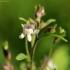 Mažoji linokė - Chaenorhinum minus | Fotografijos autorius : Ramunė Vakarė | © Macrogamta.lt | Šis tinklapis priklauso bendruomenei kuri domisi makro fotografija ir fotografuoja gyvąjį makro pasaulį.