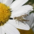 Margasparnė - Chaetostomella cylindrica ♀   Fotografijos autorius : Agnė Kulpytė   © Macrogamta.lt   Šis tinklapis priklauso bendruomenei kuri domisi makro fotografija ir fotografuoja gyvąjį makro pasaulį.