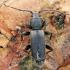 Pušinis luobatašis - Tetropium fuscum, patinas   Fotografijos autorius : Gintautas Steiblys   © Macrogamta.lt   Šis tinklapis priklauso bendruomenei kuri domisi makro fotografija ir fotografuoja gyvąjį makro pasaulį.
