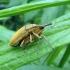 Maudinis stiebastraublis - Lixus iridis | Fotografijos autorius : Vitalii Alekseev | © Macrogamta.lt | Šis tinklapis priklauso bendruomenei kuri domisi makro fotografija ir fotografuoja gyvąjį makro pasaulį.