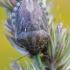 Maurinė vėžliablakė - Eurygaster maura | Fotografijos autorius : Arūnas Eismantas | © Macrogamta.lt | Šis tinklapis priklauso bendruomenei kuri domisi makro fotografija ir fotografuoja gyvąjį makro pasaulį.
