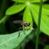 Plėšriamusė - Dioctria cf. hyalipennis   Fotografijos autorius : Irenėjas Urbonavičius   © Macrogamta.lt   Šis tinklapis priklauso bendruomenei kuri domisi makro fotografija ir fotografuoja gyvąjį makro pasaulį.