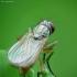 Tikramusė - Coenosia mollicula | Fotografijos autorius : Vidas Brazauskas | © Macrogamta.lt | Šis tinklapis priklauso bendruomenei kuri domisi makro fotografija ir fotografuoja gyvąjį makro pasaulį.
