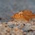 Lapasparnis - Drepanepteryx phalaenoides   Fotografijos autorius : Rasa Gražulevičiūtė   © Macrogamta.lt   Šis tinklapis priklauso bendruomenei kuri domisi makro fotografija ir fotografuoja gyvąjį makro pasaulį.