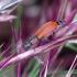 Pūsliavabalis - Anthocomus rufus | Fotografijos autorius : Romas Ferenca | © Macrogamta.lt | Šis tinklapis priklauso bendruomenei kuri domisi makro fotografija ir fotografuoja gyvąjį makro pasaulį.